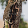 Leopard with a wildebeest kill on a tree in Masai Mara
