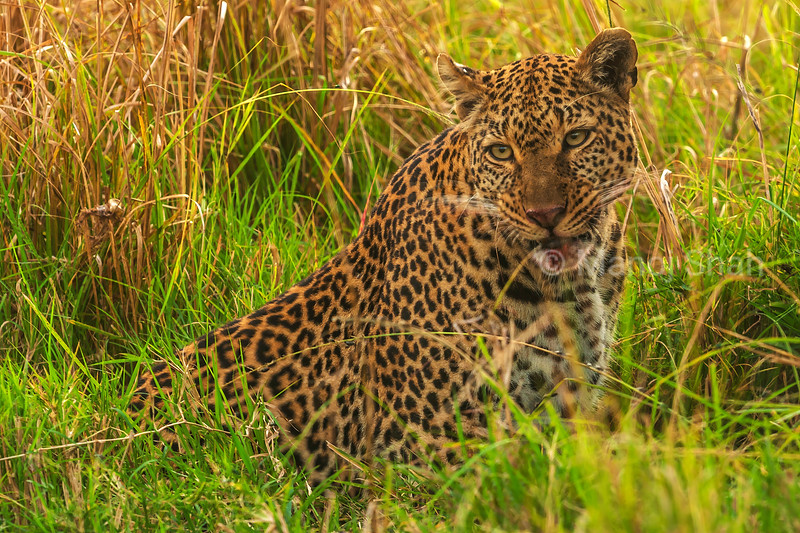 Leopard eatinga kill in tall grass in Masai Mara.