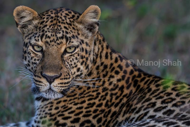 leopard in bushy terrain