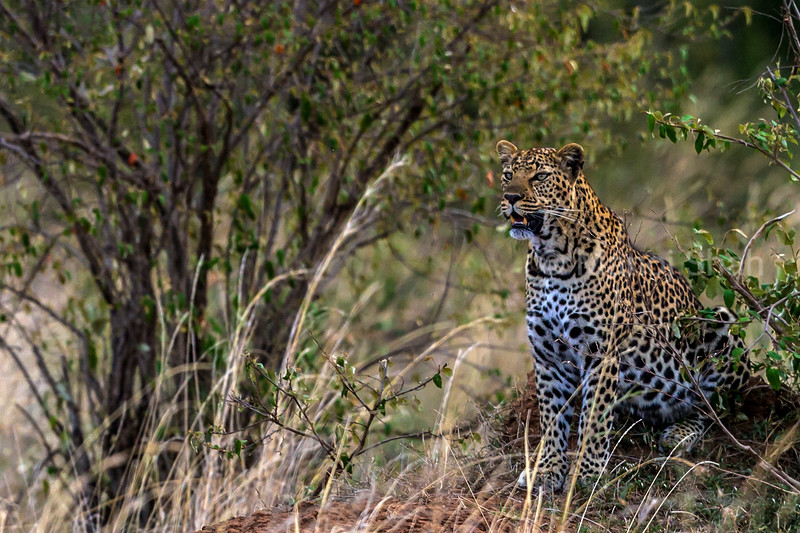 leopard scanning the bush