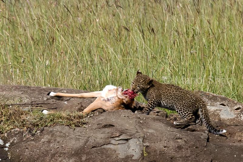 leopard cub with impala kill