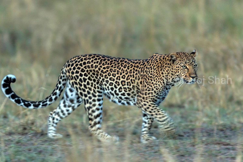 leopard walking across the savanna