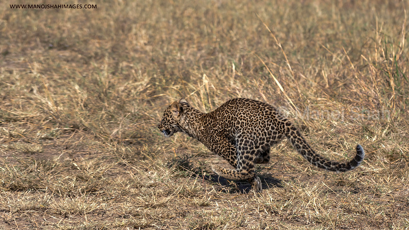 Leopard cub running