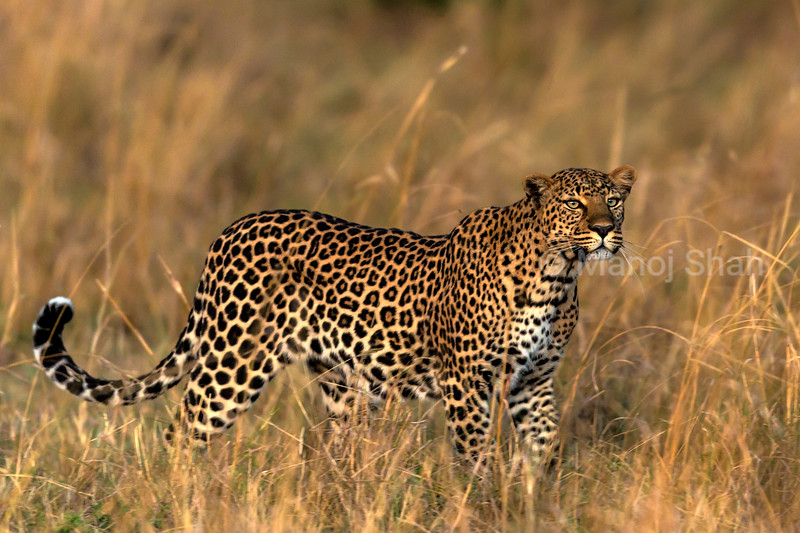 leopard scanning the area