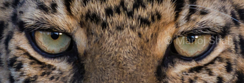 Eyes of a leopard