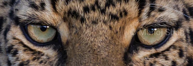 Eyes of a leopard