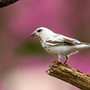 LEUCISTIC BIRD (UNKNOWN) PHOTO TAKEN  5-2-15 IN MY YARD