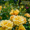 Yellow roses and buds in abundance, with a garden trellis and variety of different flowers and evergreen trees in the distance, at the Rose Garden in Washington Park, Portland, Oregon.  Photo by Carl Crawford, Mukilteo, Oregon.