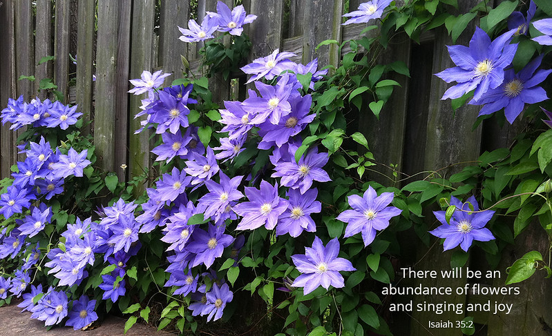 Purple clematis in full bloom on a wooden fence in the springtime