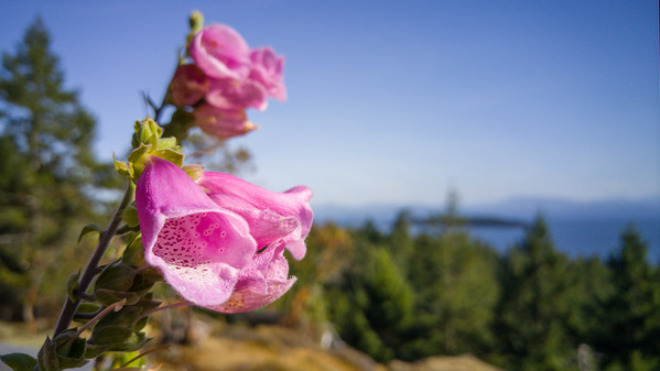 Wildflowers on Lasquite Island   Photos from Vancouver Island and LG G4 Review