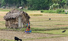 Some of the huts in the rice fields are for night guards.
