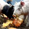 0213CSA5.jpg Pigs eat a pumpkin at Jacobs Farm in Boulder, Colorado February 14, 2013.  DAILY CAMERA/ MARK LEFFINGWELL