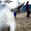 0213CSA3.jpg A goat at Jacobs Farm in Boulder, Colorado February 14, 2013.  DAILY CAMERA/ MARK LEFFINGWELL