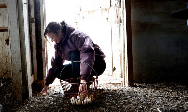0213CSA1.jpg Dorian O'Connell gathers duck eggs at Jacobs Farm in Boulder, Colorado February 14, 2013.  DAILY CAMERA/ MARK LEFFINGWELL