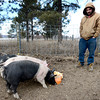 0213CSA4.jpg Farm hand Aaron Sprague watches the pigs eat a pumpkin at Jacobs Farm in Boulder, Colorado February 14, 2013.  DAILY CAMERA/ MARK LEFFINGWELL