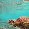 FEB 16 2013<br /> Hawaiian Green Sea Turtle