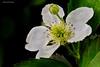 Blackberry<br /> (Rubus fruticosus) family (Rosaceae)