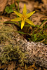 Yellow Trout Lily <br /> (Erythronium americanum) family (Liliaceae)