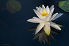 Fragrant Water Lily<br /> (Nymphaea odorata) family (Nymphaeaceae)