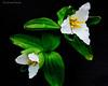 Large-flowered Trillium<br /> (Tiillium graniflorum) family (Liliaceae)