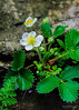 Common Strawberry<br /> (Fragaria virginiana) family (Rosaceae)
