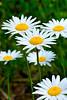 Oxeye Daisy<br /> (Chrysanthemum leucanthemum) family (Asteraceae)