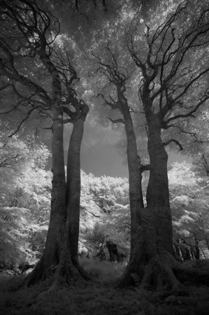 Two Beech Trees, Isle of Islay. 2014