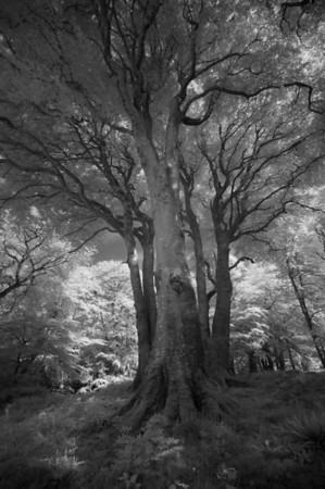 Three Beech Trees, Isle of Islay, Scotland. 2014