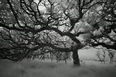Oak Tree, Study 2, Isle of Islay, Scotland. 2014