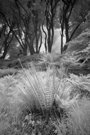 Fern and Trees, Bridgend Woods, Isle of Islay, Scotland. 2014