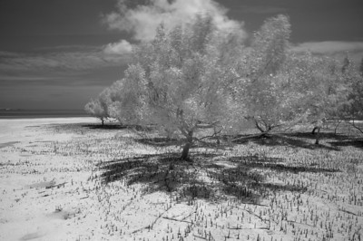 Edge of Mangroves, Aldabra, Seychelles. 2011