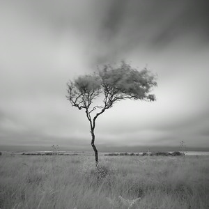 Lone Birch, Isle of Islay, Scotland. 2014