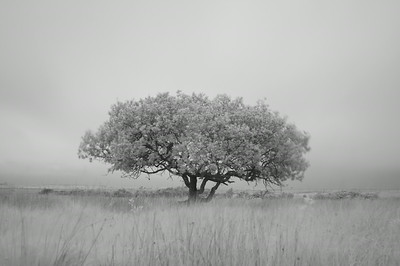 Solitary Willow, Isle of Islay, Scotland. 2014