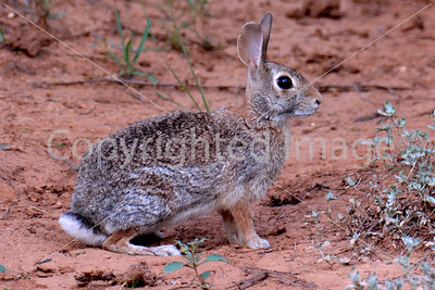 ANM 308 COTTONTAIL RABBIT