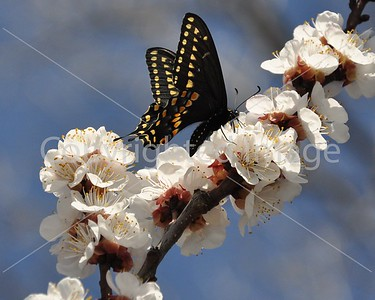 WF116 APRICOT BLOSSUM AND BLACK SWALLOWTAIL BUTTERFLY