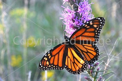 WF57 MONARCH AND GAY FEATHER