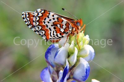 B001 BEAUTIFUL BUTTERFLY VISITING BLUEBONNET