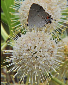 WF108 BUTTERFLY AND BUTTONBUSH