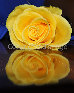 2011 F 01 REFLECTIONS OF A YELLOW ROSE