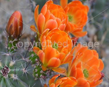 WF 212 Engelmann prickly pear cactus