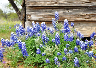 OLD HOUSE BLUEBONNETS
