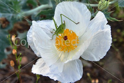 KATYDID AND WHITEPRICKLY POPPY
