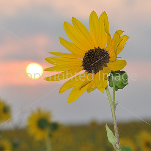 SHARON'S SUNFLOWER