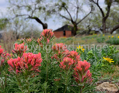 RED BARN AND INDIAN PAINTBRUSH