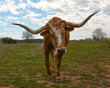 WHAT BIG HORNS I HAVE