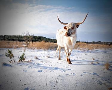 AN015 LONGHORN IN THE SNOW