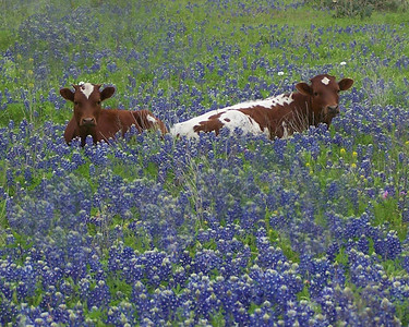 LONGHORN CALVES IN THE BLUEBONNETS