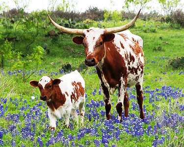 AN003 LONGHORN & CALF WALKING IN BLUEBONNETS
