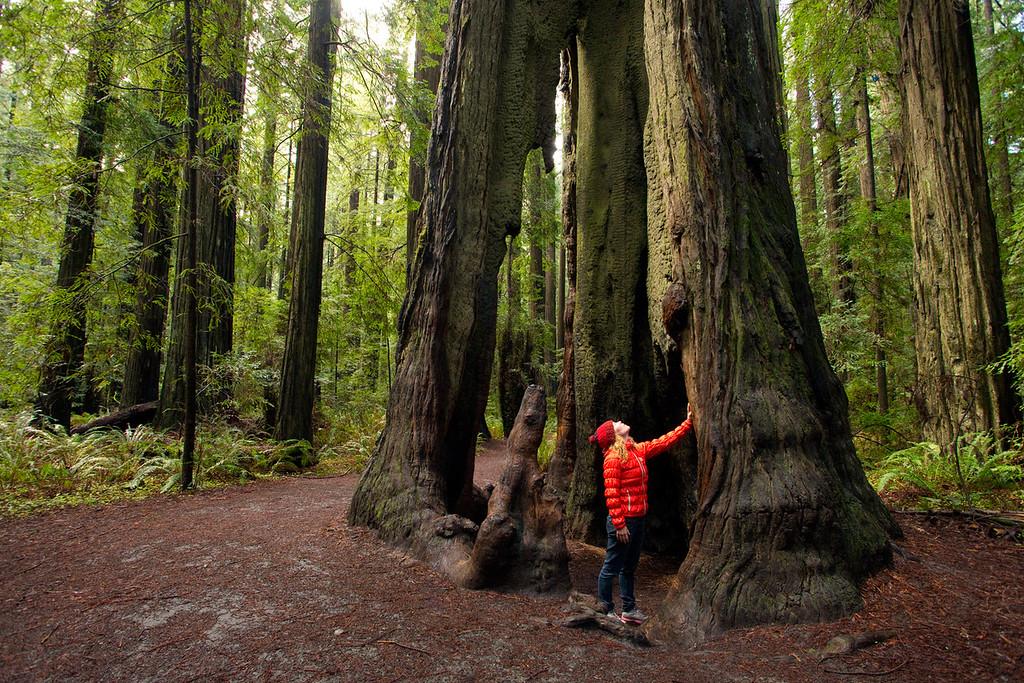 Founders Grove. Redwoods National Park, California, USA