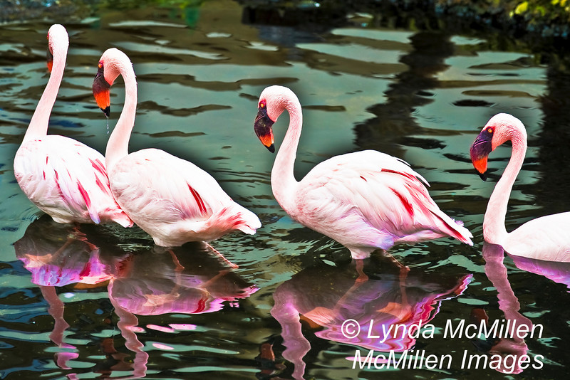 """Walk-this-Way!""  African Lesser Flamingos"